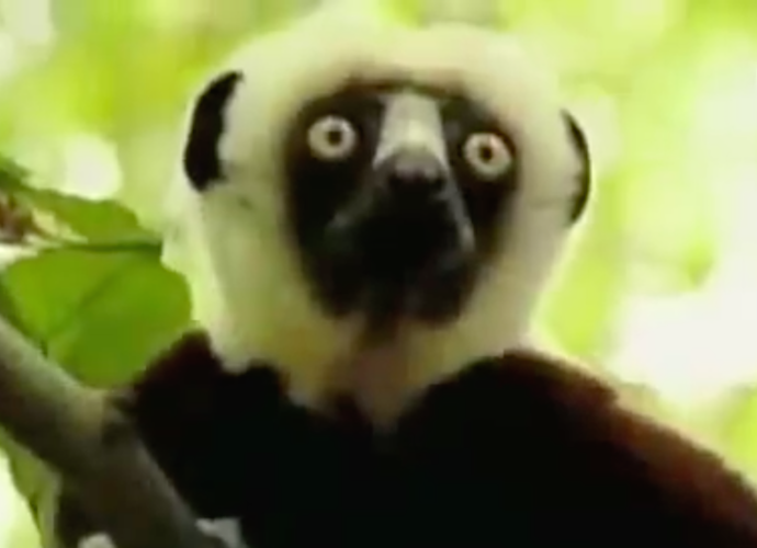 'Zoboomafoo' Lemur Dies; Internet Mourns Celebrity Animal