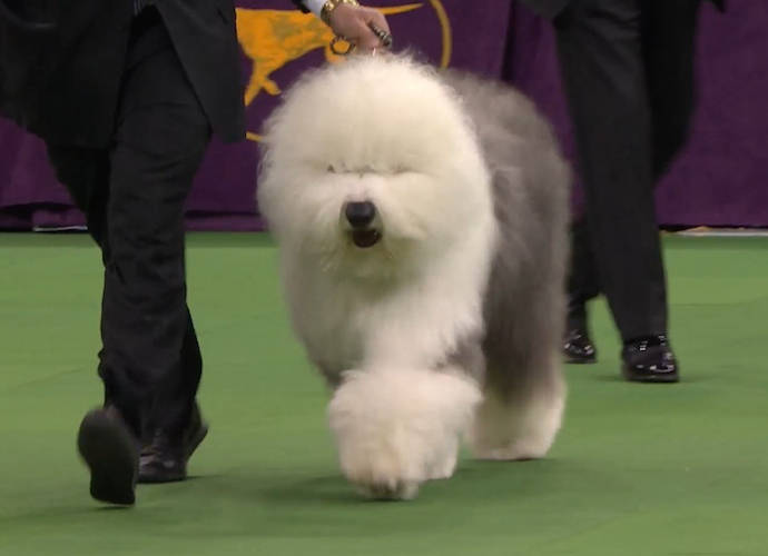 Westminster Dog Show Herding Group