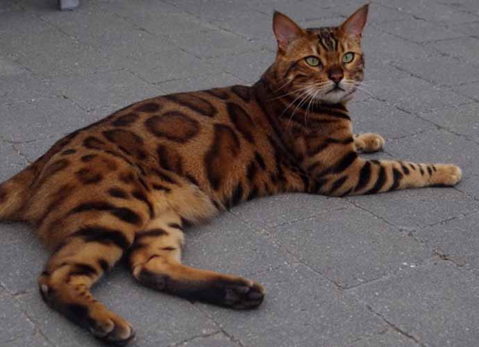 Beautiful Belgian Cat Named Thor Stirs The Internet ...