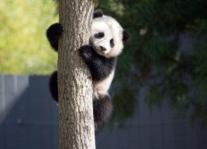 Bao Bao The Panda Goes To China To Breed