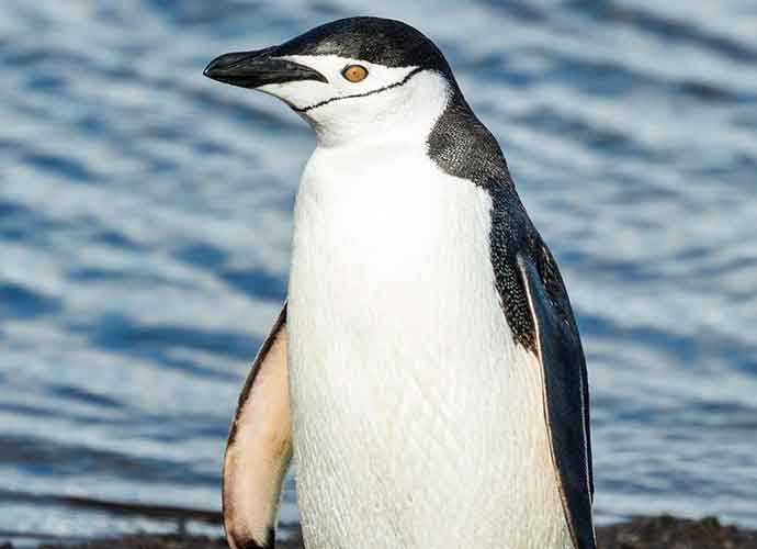World Penguin Day: Species Facing Extinction As Fishing Fleets Harvest Prey