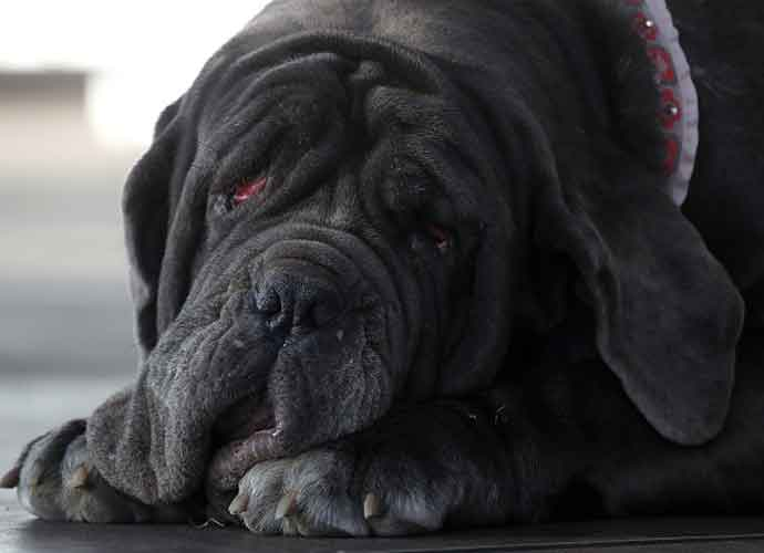 "Mastiff 'Martha' Named This Year's Winner In ""World's Ugliest Dog"" Contest"