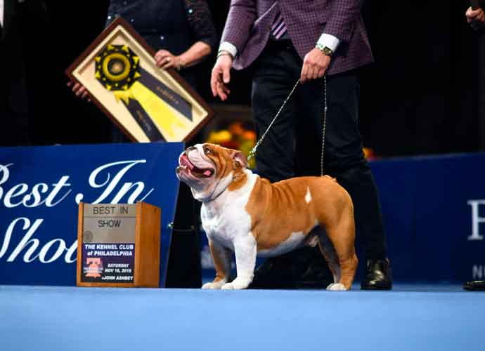 National Dog Show 2020 Dates.Thor The Bulldog Wins Best In Show At 2019 National Dog
