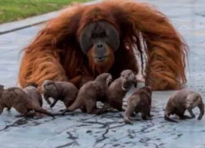 Orangutans Befriend Otters At A Belgium Zoo