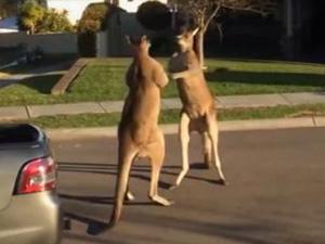 Two Kangaroos Fight In Suburban Australia Street