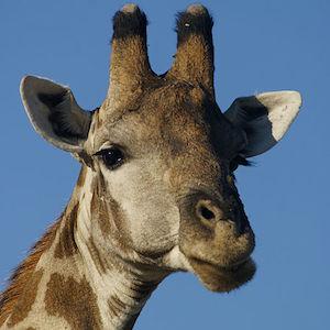 Giraffe Profile Pics: Facebook Riddle Goes Viral