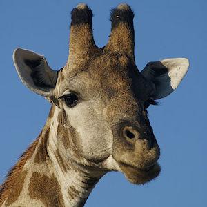 Copenhagen Zoo Under Fire For Baby Giraffe Is Slaughtered