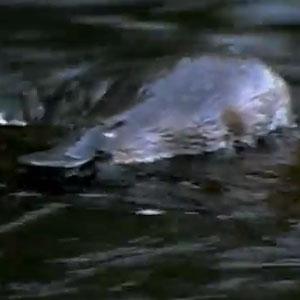 'Godzilla Platypus' Species Discovered In Australia